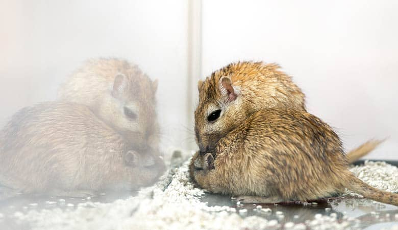 Can-Gerbils-kill-each-other