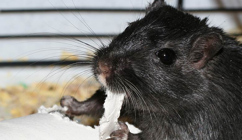Can-I-give-my-gerbil-toilet-paper