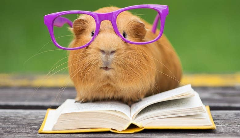 Do-Guinea-Pigs-Learn-Their-Name1
