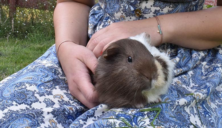 Do-guinea-pigs-like-to-be-petted