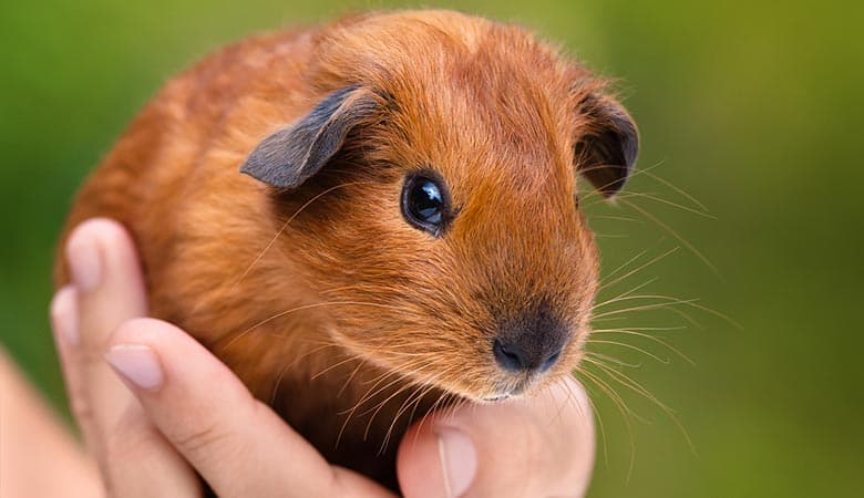 Do-guinea-pigs-need-a-lot-of-attention