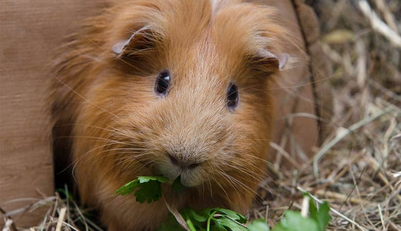 How-long-can-you-leave-a-guinea-pig-alone