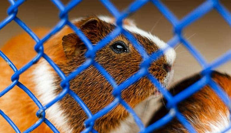 Should-You-Cover-Your-Guinea-Pig's-Cage-At-Night