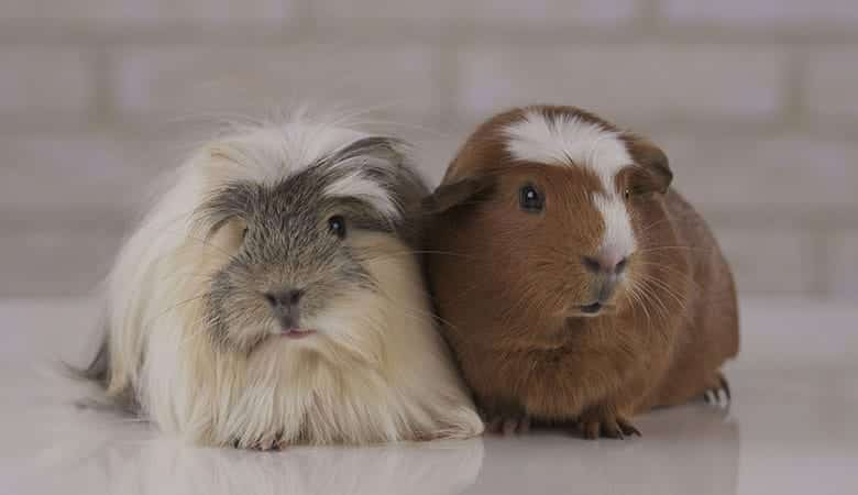 What-Breed-of-Guinea-Pig-Lives-The-Longest
