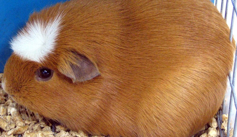 White-Crested-Guinea-Pig-breed