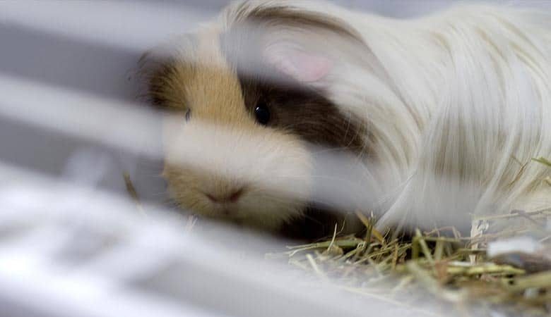 cover-guinea-pig-cage
