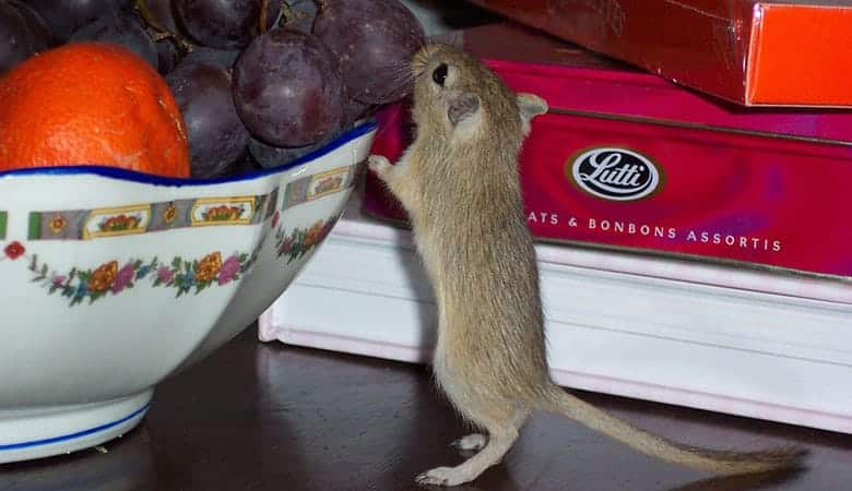 gerbil-eating-fruit