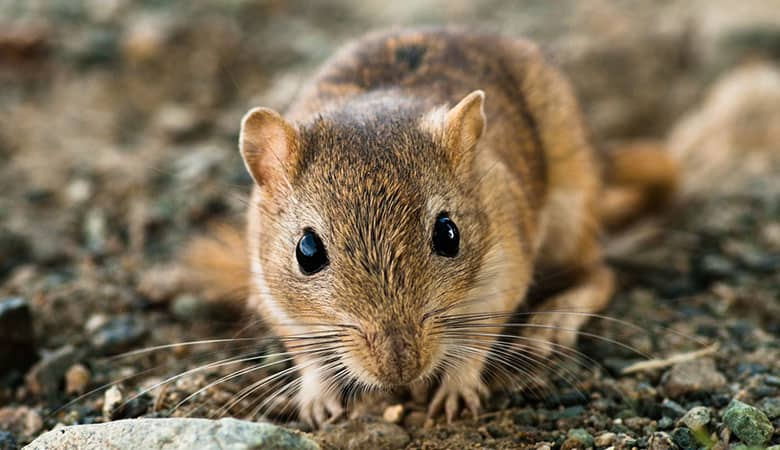 Can-Gerbils-learn-Their-name