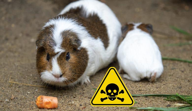 What-is-Poisonous-to-Guinea-Pigs-(Foods-and-Toys-to-Avoid)