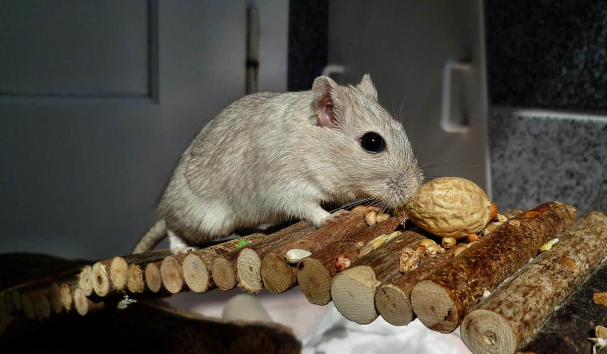 Can-you-keep-your-gerbil-in-your-bedroom