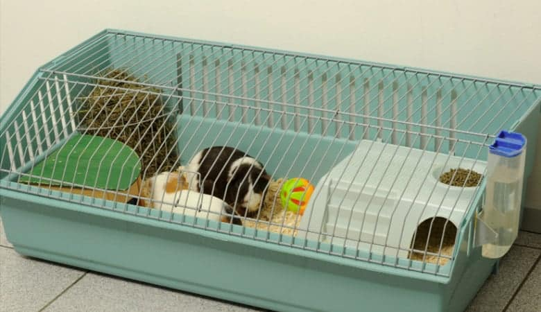 How Large Should a Guinea Pig Cage Be? Why Size is Important