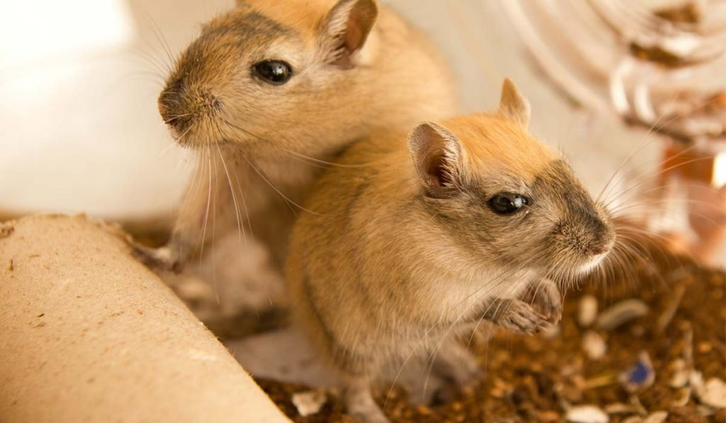 Can-Gerbils-Live-With-Other-Animals
