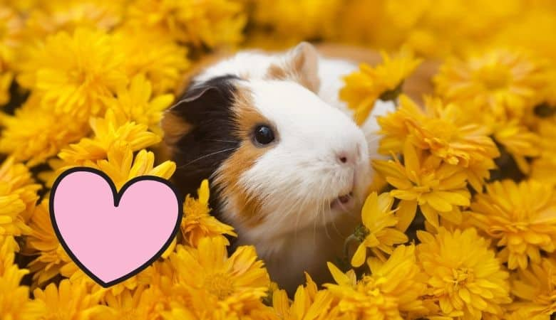 Guinea Pig Affection 6 Things You Should Know