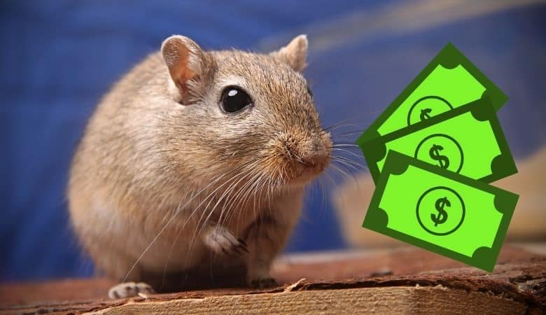 How Much Does a Gerbil Cost (Initial + Maintenance Costs)