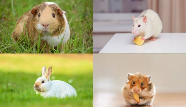 List of The Best Pocket Pets Based on Your Preferences & Needs