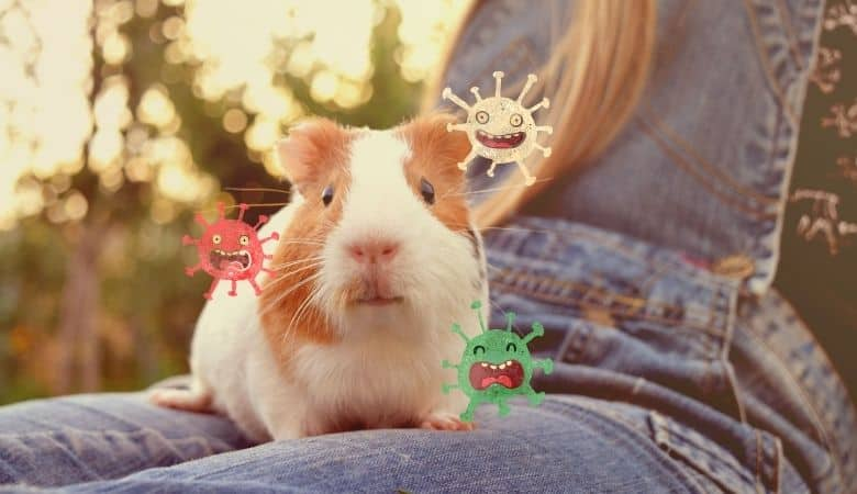 Are Guinea Pig Diseases Contagious To Humans